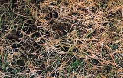 Choroby trávníku